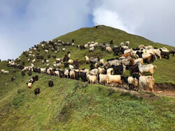 Sheeps Group in Ruby Valley Trek