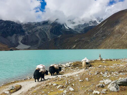Yaks in Gokyo Lake
